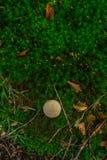 Foto di piccolo fungo nella foresta su muschio verde Vista superiore fotografie stock libere da diritti