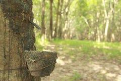 Foto di riserva: Albero di gomma della fessura e della tazza Al gambo è la traccia di rubb Fotografia Stock