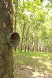 Foto di riserva: Albero di gomma della fessura e della tazza Al gambo è la traccia di rubb Fotografia Stock Libera da Diritti