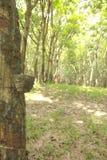Foto di riserva: Albero di gomma della fessura e della tazza Al gambo è la traccia di rubb Fotografie Stock Libere da Diritti