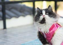 Foto di riserva - Cat Chinese New Years allegra adorabile Fotografie Stock Libere da Diritti