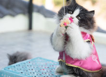 Foto di riserva - Cat Chinese New Years allegra adorabile Immagine Stock Libera da Diritti