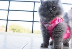 Foto di riserva - Cat Chinese New Years allegra adorabile Fotografia Stock Libera da Diritti