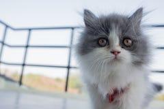 Foto di riserva - Cat Chinese New Years allegra adorabile Immagine Stock