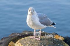 Foto di riserva di un gabbiano in porto Fotografia Stock