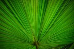 Foto di riserva - foglia di palma Immagini Stock Libere da Diritti