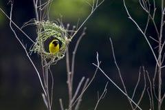 Foto di riserva - immagine del nido dell'uccello e del tessitore dorato asiatico immagini stock libere da diritti