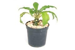 Foto di riserva - piccolo cactus isolato su bianco Fotografia Stock Libera da Diritti