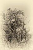 Foto di seppia dei corvi sull'albero Immagine Stock Libera da Diritti
