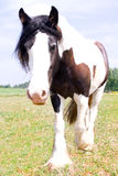 Foto di struttura di un cavallo zingaresco di Vanner Fotografia Stock Libera da Diritti