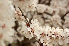 Foto di un albero di albicocca sbocciante Immagine Stock Libera da Diritti