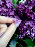 Foto di un fiore lilla del cinque-petalo fotografia stock