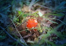Foto di un fungo rosso luminoso della mosca Fotografia Stock