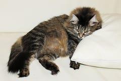Foto di un gatto su un cuscino bianco fotografia stock