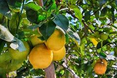 Foto di un limone con i limoni Immagini Stock