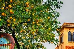 Foto di un limone con i limoni Immagine Stock Libera da Diritti