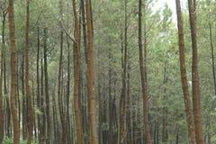 Foto di un pino, da sotto, versione 20 Fotografie Stock Libere da Diritti