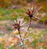 Foto di una coppia di spine in natura Fotografia Stock Libera da Diritti