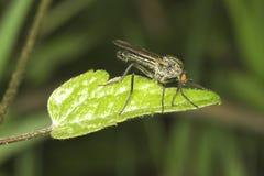 Foto di una fine della mosca su su una foglia Fotografia Stock