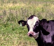 Foto di una mucca in un campo Fotografia Stock Libera da Diritti