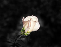 foto di una rosa Fotografia Stock Libera da Diritti