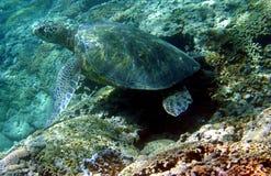 Foto di una tartaruga di mare verde Fotografie Stock Libere da Diritti