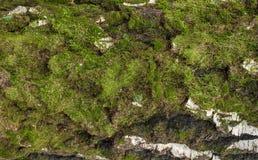 Foto di vecchia struttura della corteccia di betulla con muschio ed il lichene su  Immagine Stock Libera da Diritti