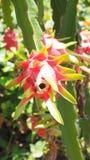 Foto di verticale della frutta del drago di vista dal basso Immagine Stock