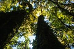 Foto di vista da sotto il grande albero Mostri a dettaglio le foglie verdi f immagine stock
