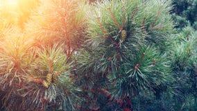 Foto die een heldere altijdgroene pijnboom afschilderen Weinig uiterst kleine kleurrijke nieuwe groei van de sparrenkegel op de b royalty-vrije stock foto