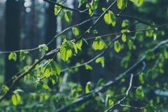 Foto die een macro de lentemening van de brunch van de nootboom afschilderen met Royalty-vrije Stock Afbeeldingen