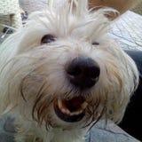 foto die een mooi gezicht van een Bolognese hond tonen royalty-vrije stock afbeelding