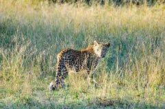 Foto die tijdens de safari in het Nationale park van Serengetti wordt genomen Royalty-vrije Stock Foto