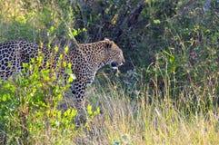 Foto die tijdens de safari in het Nationale park van Serengetti wordt genomen Royalty-vrije Stock Fotografie