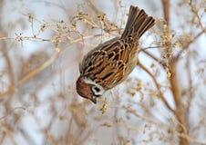 Foto divertida del gorrión de árbol que alimenta en la hierba Fotografía de archivo
