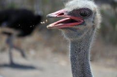 Foto divertida del vuelo de la comida en una boca del ` s de la avestruz Fotos de archivo