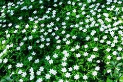 A foto do branco bonito Vinca Minor de florescência floresce com wonde Imagem de Stock Royalty Free