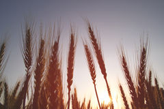 Foto do campo de trigo na folha de prova do brilho da explosão do sol do nascer do sol Foto de Stock Royalty Free