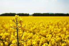 Foto do close-up da flor da colza com campo e a floresta borrados b imagens de stock