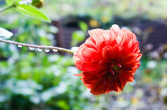 A foto do close up da flor com gotas da chuva Fotos de Stock