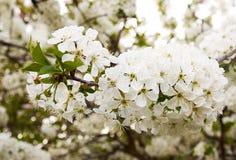 A foto do close-up da maçã ramifica com flores brancas e o le verde imagens de stock