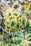 A foto do close-up das ervas bonitas que crescem nas montanhas Imagens de Stock