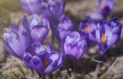 Foto do close up de açafrões roxos Imagens de Stock