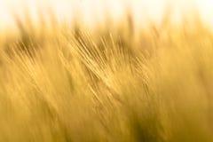 Foto do close up de algum trigo fresco imagem de stock royalty free