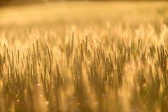 Foto do close up de algum trigo fresco fotografia de stock royalty free