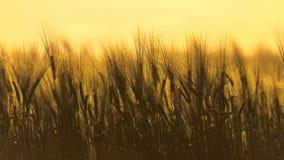 Foto do close up de algum trigo fresco fotos de stock royalty free