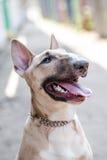 Foto do close-up de bull terrier fêmea novo com o fundo circunvizinho do bokeh que olha acima na câmera Vestido vestindo do cão d Foto de Stock Royalty Free