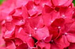 Foto do close-up de flores cor-de-rosa bonitas da hortênsia Imagens de Stock
