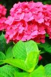 Foto do close-up de flores cor-de-rosa bonitas da hortênsia Fotografia de Stock Royalty Free