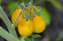 Foto do close-up de tomates amarelos doces. Imagem de Stock Royalty Free